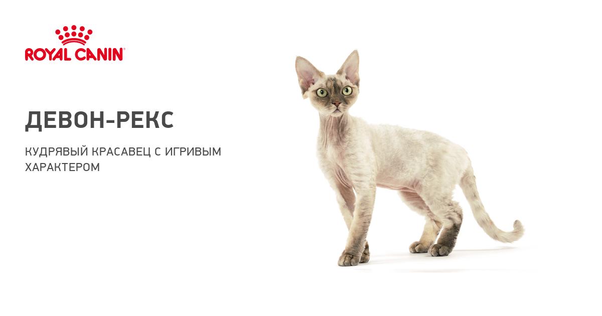 Девон-рекс - Кошачьи породы   630x1200