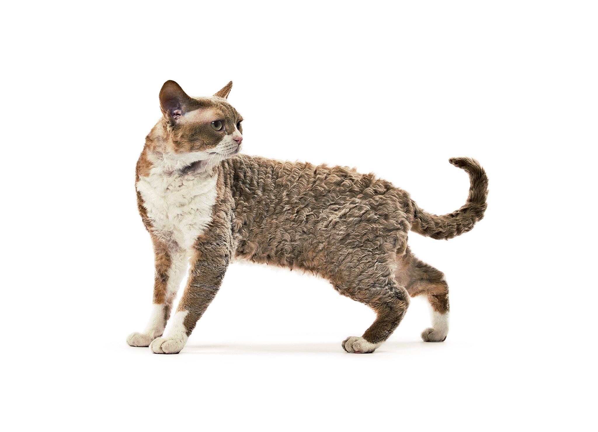Описание породы корниш-рекс: цена кошек, сколько минимум стоит котёнок  корниш-рекса — фото и стоимость котят | 1480x2048