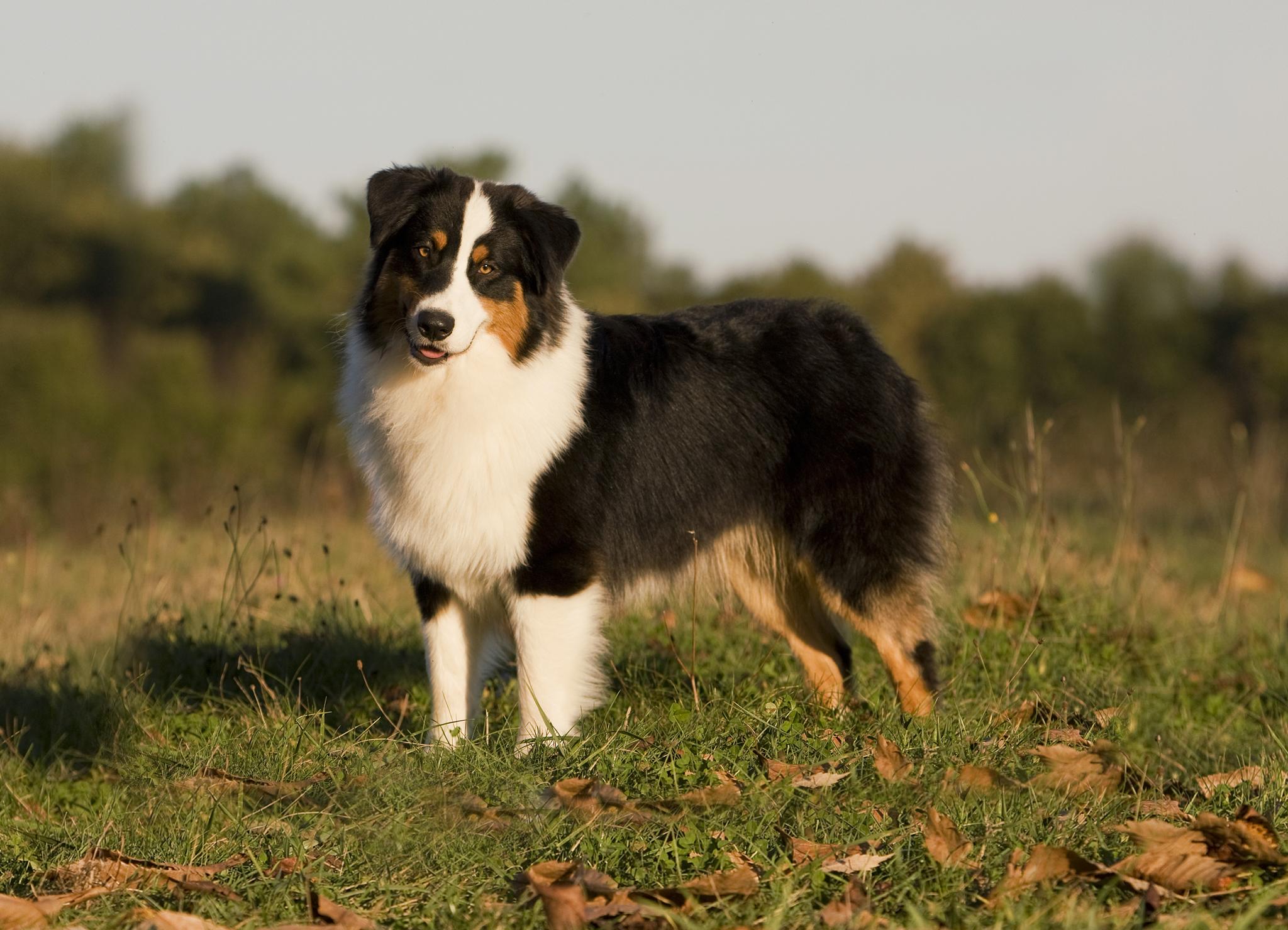 Австралийская овчарка (аусси) – фото собаки, описание характера ...