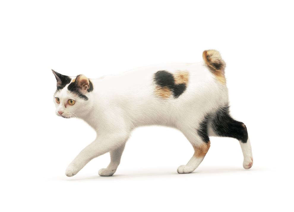 картинки кошки японский бобтейл его могут также